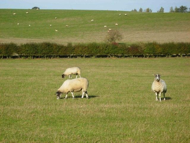Sheep near Upper Stowe