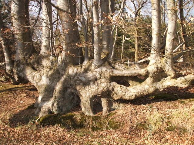 Old Beech hedge on edge of Priors Wood