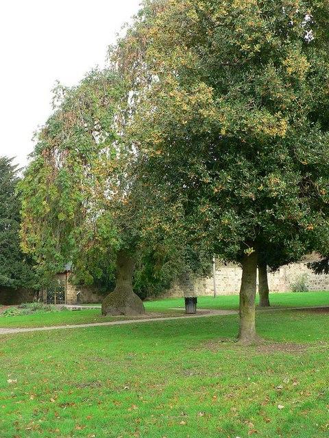 Holly tree, Horsforth Hall Park