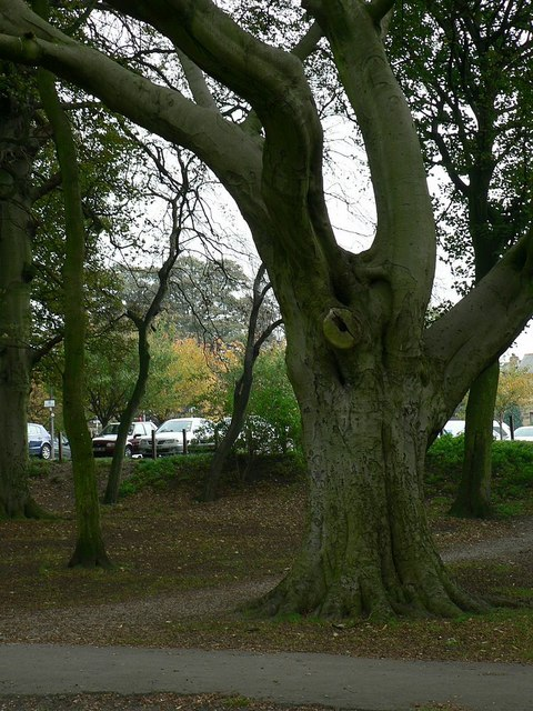 Beech Tree, Horsforth Hall Park