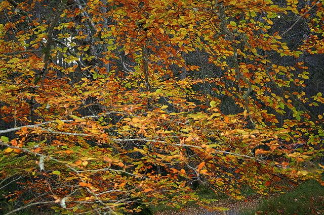An autumn beech tree kaleidoscope of colour.