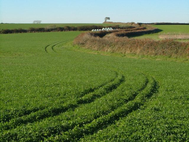 Trefoil crop in South Hams