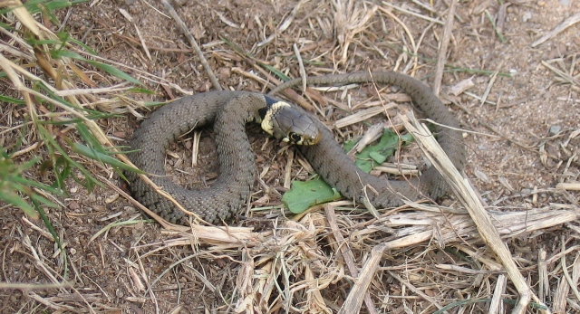 Grass Snake