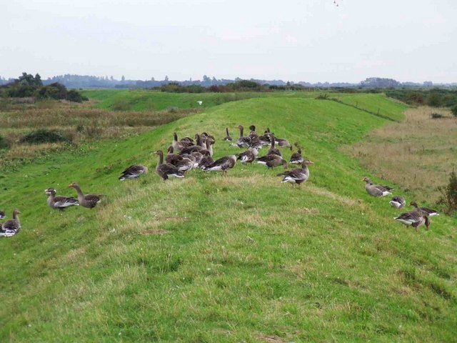 Geese on the dyke, RSPB reserve