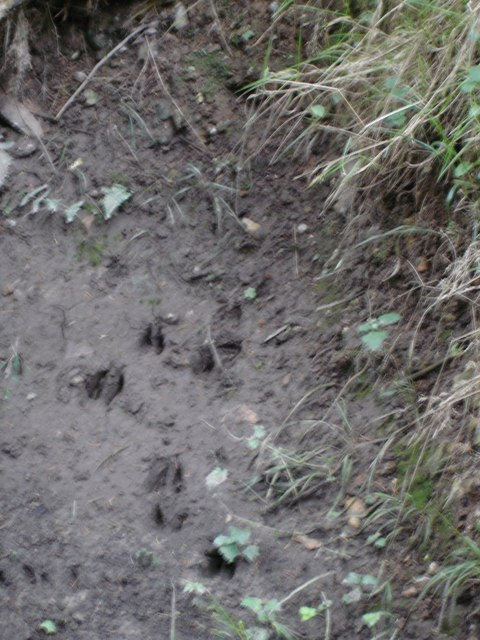 Deer tracks in Chase Woods