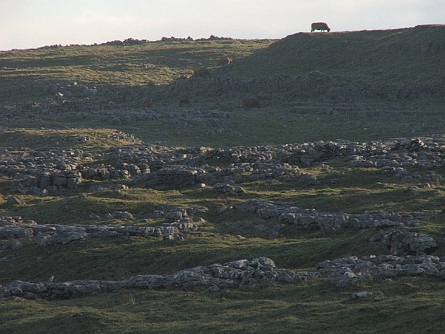Cows and Limestone.
