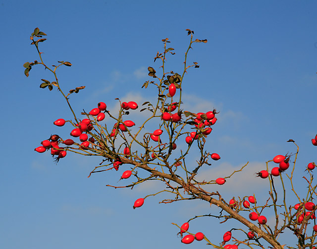 Rose Hips on Bratley Plain, New Forest