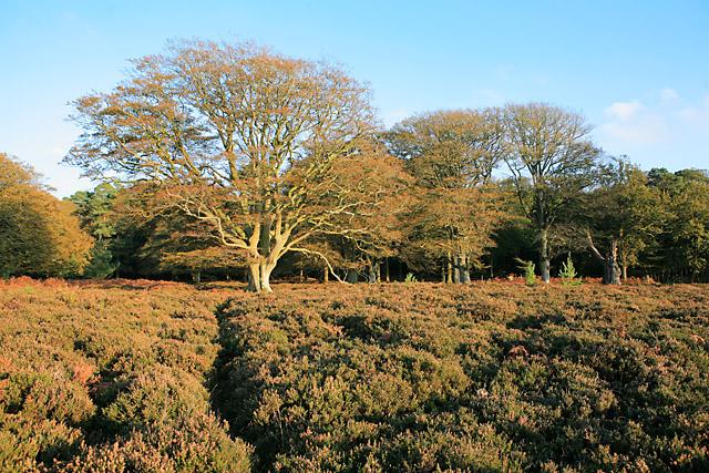 Beech in Autumn colours, Bratley Plain, New Forest