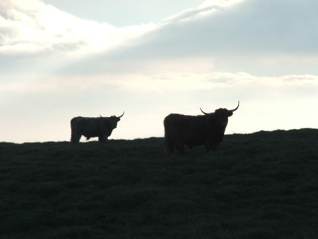 Cattle on the Horizon.