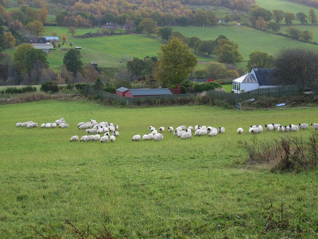 Sheep at Ardendrain