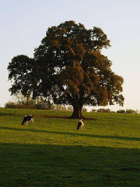 Cows grazing near Chapel Pill Farm