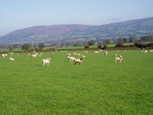 Llwyn Uchaf grazing.