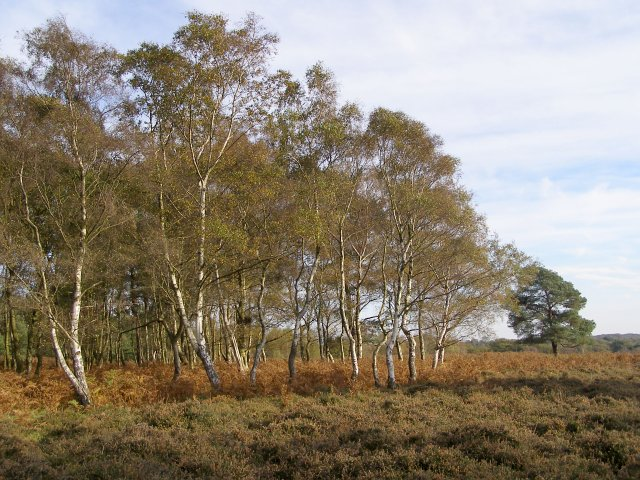 Autumnal silver birch on Homy Ridge, New Forest