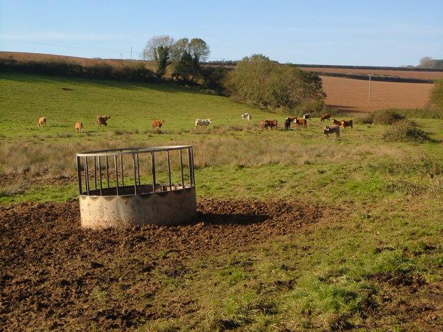 Confused bullocks near Hitchcombe