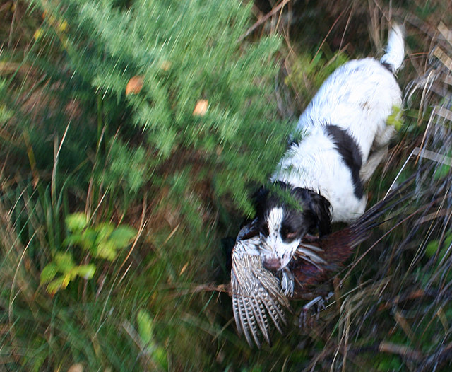 A  pheasant is retrieved from the heavy cover in Crachies Wood..