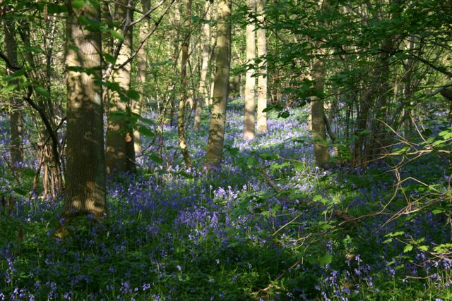 Bluebells in Waresley woods