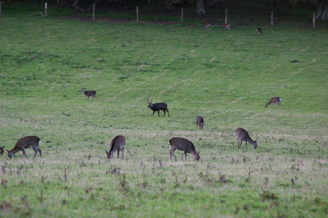 Sika deer on rutting stand at RSPB Arne Nature Reserve