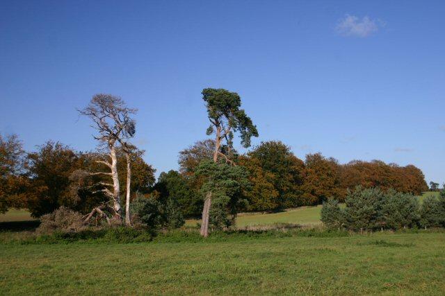 Trees near Icklingham