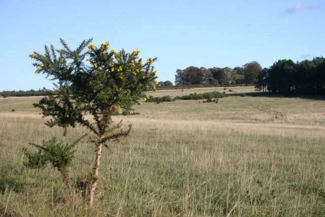 Gorse bush in the Brecks