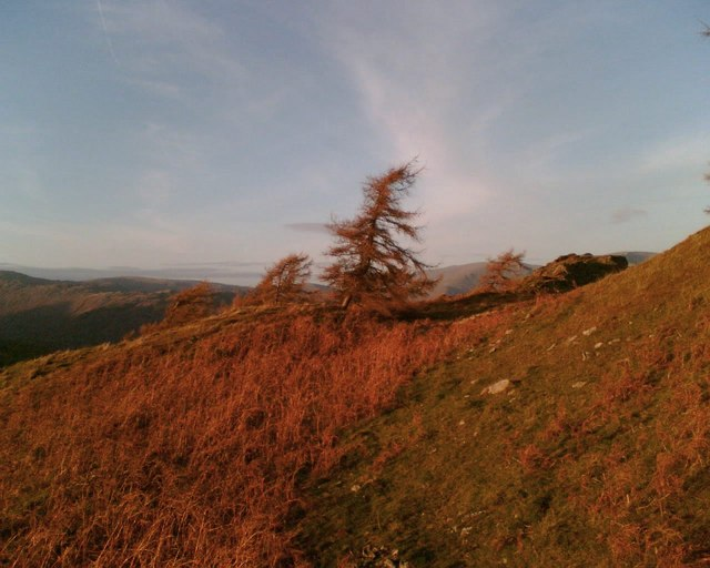 Windblown Larch Trees