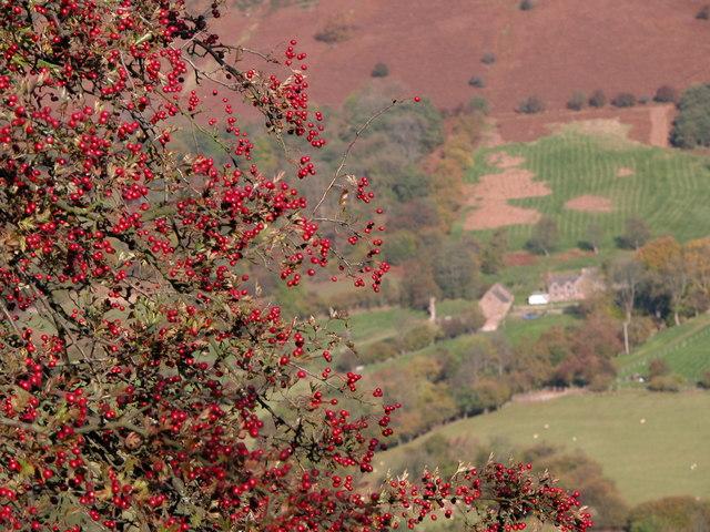 Hawthorn berries, Vale of Ewyas