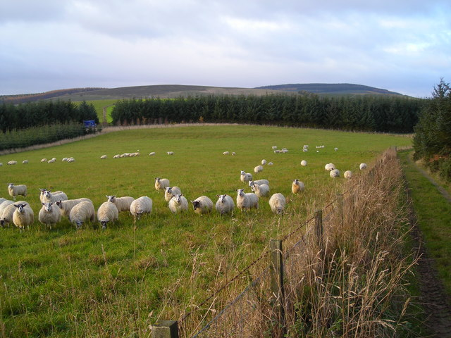 Sheep on Broclach Hill