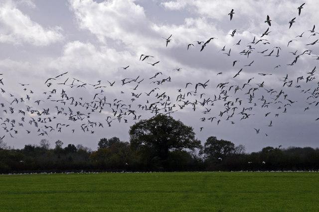 Gulls Rising near Wardle