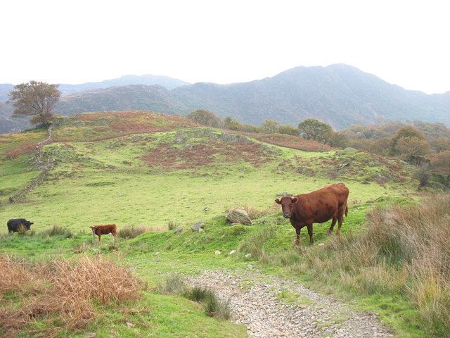 Cattle above Hafod y Porth farmhouse