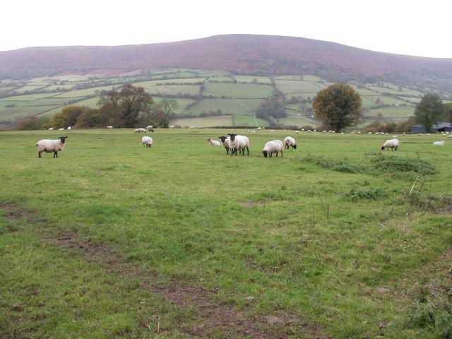Sheep in a field beside Welsh Hunthouse