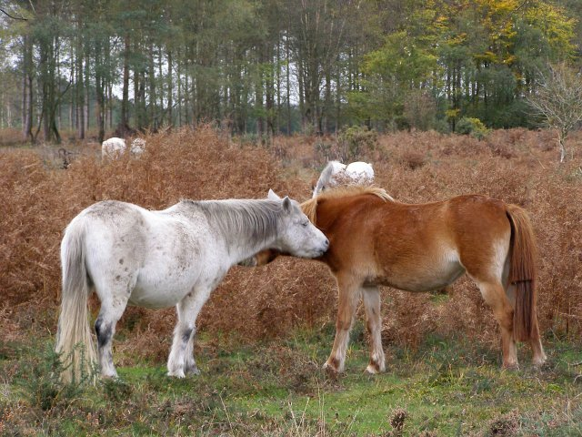 Mutually grooming ponies at Turf Hill, New Forest