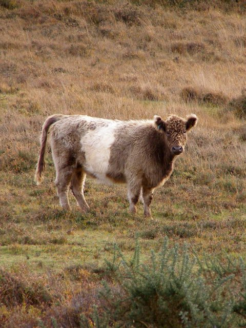 Furry cow, Millersford Bottom, New Forest