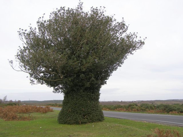 Naturally sculpted holly tree, Godshill Ridge, New Forest