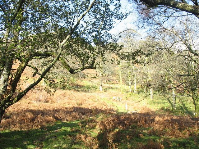 Sessile oaks