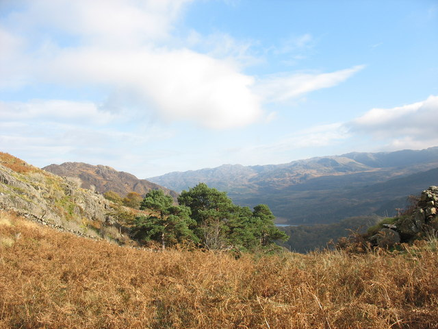 Scots pine below Cocyn Craflwyn