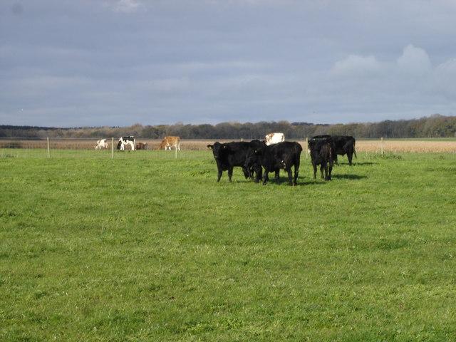 Cows on Market Road Farm