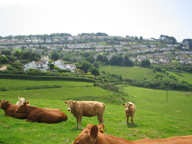 Cows in Salcombe
