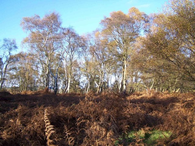 Bracken and Silver Birch
