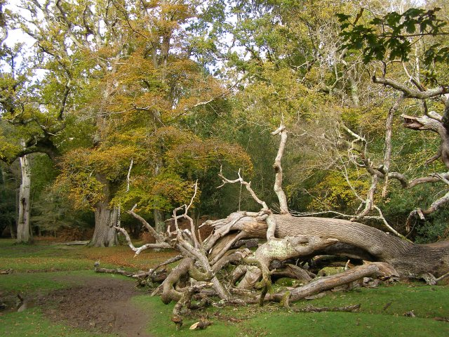 Fallen tree east of queen bower new forest