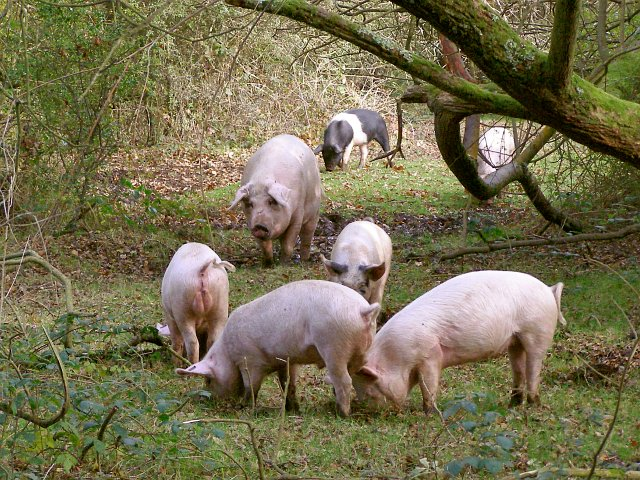Pig and piglets in woodland alongside Ober Water, New Forest