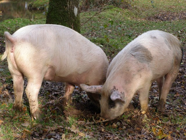 Piglets rooting in riverine woodland alongside Ober Water, New Forest