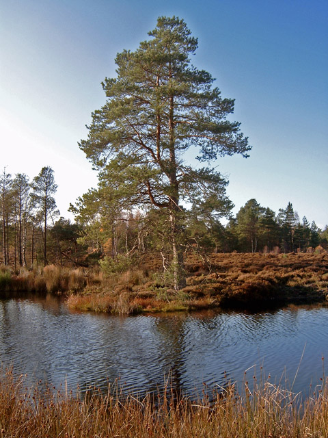 Lochan in Calrossie Woods