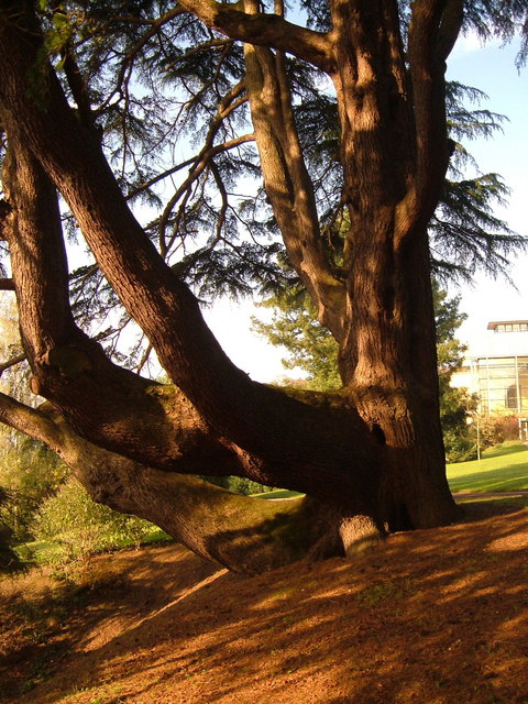 Lawson Cypress, Exeter University