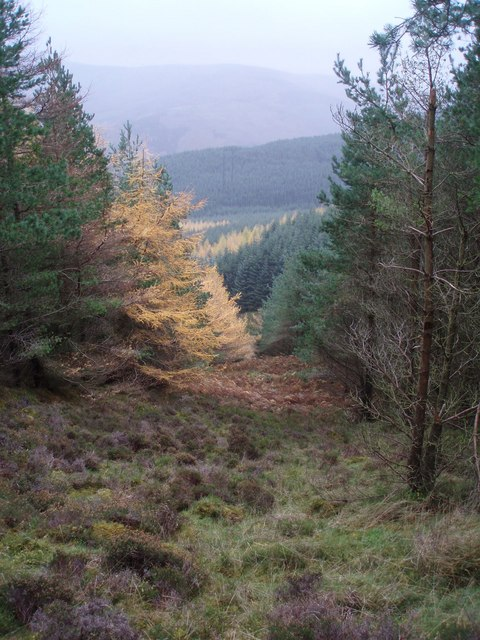 Larch in Forest Ride