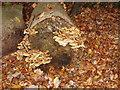 SU9485 : Sulphur Tuft fungus in Burnham Beeches by David Hawgood