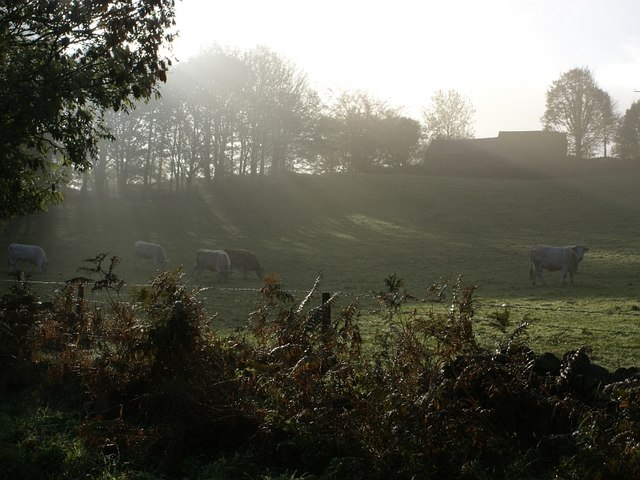 Cows grazing in early morning mist
