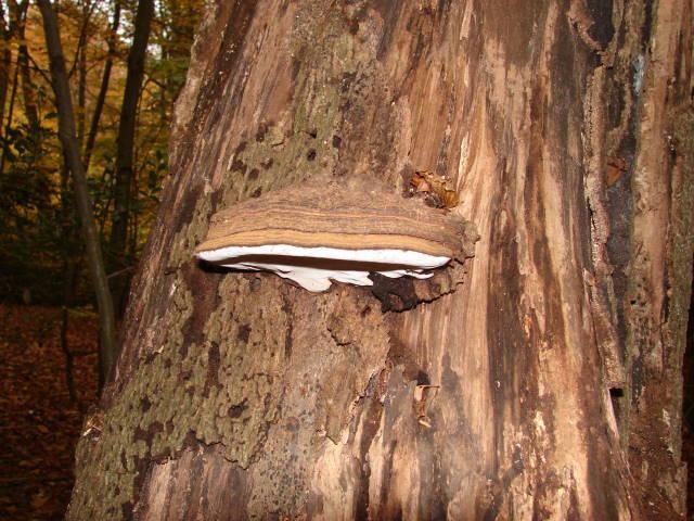 Tinder fungus in Burnham Beeches