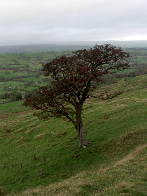 Tree beside the Wassett Fell Road.