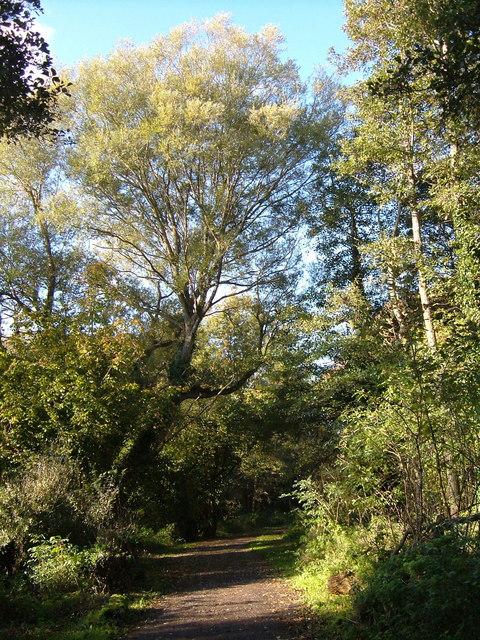 Trees alongside path near Higher Wear mill