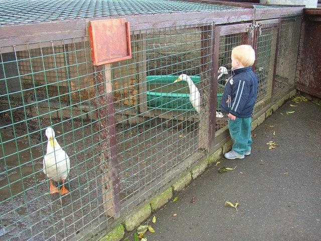 White ducks at Ponderosa, Norristhorpe, Liversedge
