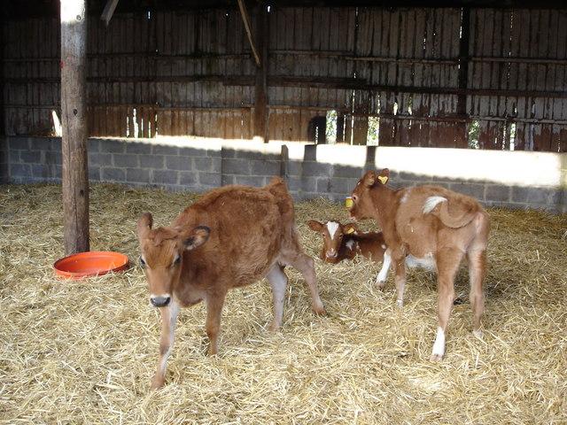 Calves on farm in Chettle